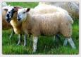 yun-koyunlar