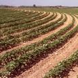 İran: Pamuk üretimi artacak