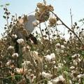 ozbekistan-pamuk-hasat