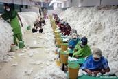 Çin pamuk ithalatında hızlı düşüş yaşandı